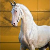 Akhal Teke horses for sale akhalteke-sale.com