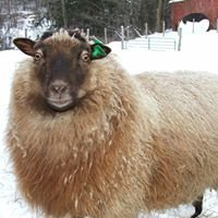 Maybelle Farm Shetland Sheep