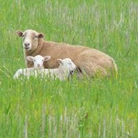 Willow Ponds Lamb