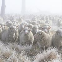 Tablelands Merino - Wool and Sheep Producers