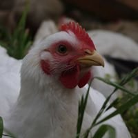 Mirboo Pastured Poultry