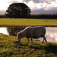 Yendora White Suffolks