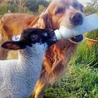 Lamb Rescue KI