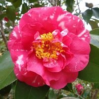 Camellia Society, Adelaide Hills Inc.