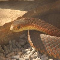 Snake Catcher Tasmania - Snakes Alive