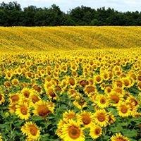 Sunflower Farmers KENYA