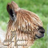 Avalon Alpacas - Legacy