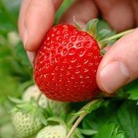 Erdbeeren Hollaus