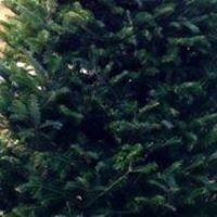 BIG TOM'S CHRISTMAS TREES