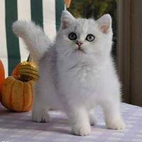 Ars Britannica PL - British Shorthair Cattery - Hodowla Kotów Brytyjskich