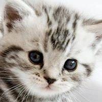 Hodowla kotów brytyjskich Susurro.pl