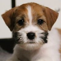 Biala Sfora FCI- Hodowla Jack Russell Terrier