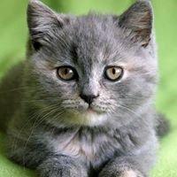 Makky*PL Koty Brytyjskie