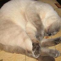 Hodowla kotów brytyjskich Księciunio*pl
