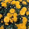 Ziedu stādu dārzniecība