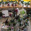 Orhideju Dàrzs