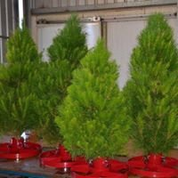 Swan Valley Christmas Trees