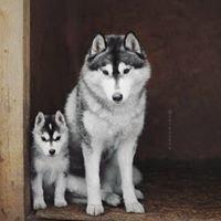 ჰასკი/Husky