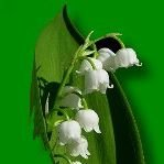 Kwiaciarnia Konwalia