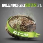 Holenderski Skun - Feminizowane nasiona