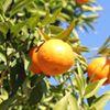 Mandarinet