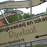 Rijpelaal- PALINGKOPEN.NL