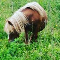 OMC Shetland Pony Stud