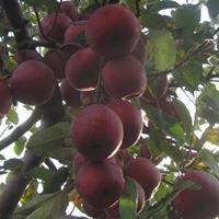 Gravert's Apple Basket Orchard