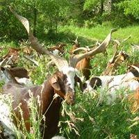 Les chèvres de Mimet
