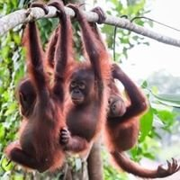 Sintang Orangutan Center