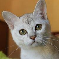 MilleFiabe Cattery - Burmese Burmilla -