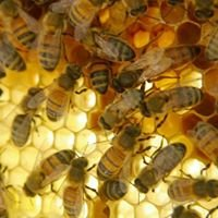 Bunbury Bees