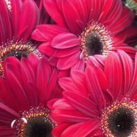 Fiorella Flowers LTD