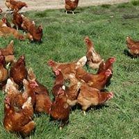 Brookfield Free Range Eggs