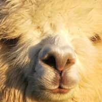 Melford Green Alpacas