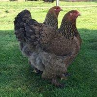 Higher Horsebrook Poultry