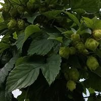 Pioneer Hops of Connecticut