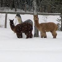 Shimmering Pond Farm Alpacas