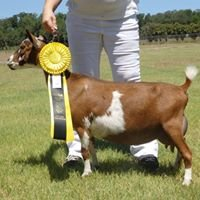 Texas Skyz - Nigerian Dwarf Goats & More