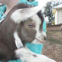 Cadence Dairy Goats