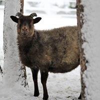 Whitney Creek Farm, LLC Icelandic Sheep and Berkshire Hogs
