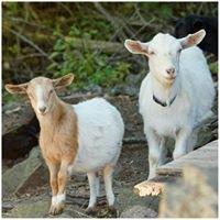 East West Agritourism & Oak Hill Fainting Goats