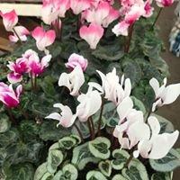 Al's Pine Garden & Nursery