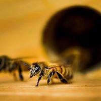 O.D.Bee