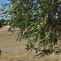 Wirra Gamba Olives