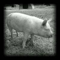 Little Oak Farm Pork