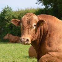 Foxhole Farm - Pedigree South Devon Cattle