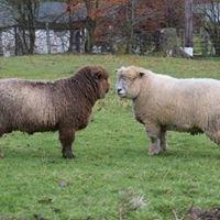 Broomwell Ryelands and Damson Brae Coloured Ryelands