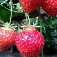 Woore Fruit Farm